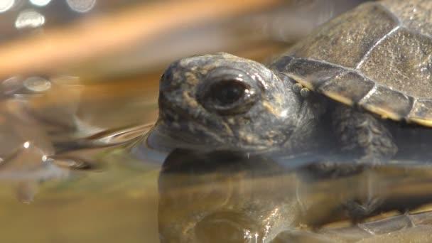 Mladá želvička se poprvé dostala k vodě po porodu a po dlouhé cestě po horké cestě. Makro zobrazit zvíře v přírodě