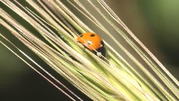 Adonis Beruška se houpe v silném větru, beruška sedí na suchém listě na zeleném pozadí, les, pole, zahrada. Zobrazit makro hmyz v přírodě