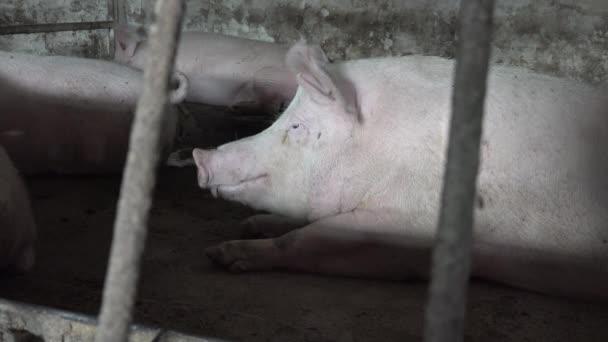 Portré egy nagy fehér disznó feküdt rács mögött egy karámban egy gazdaságban, környezetbarát