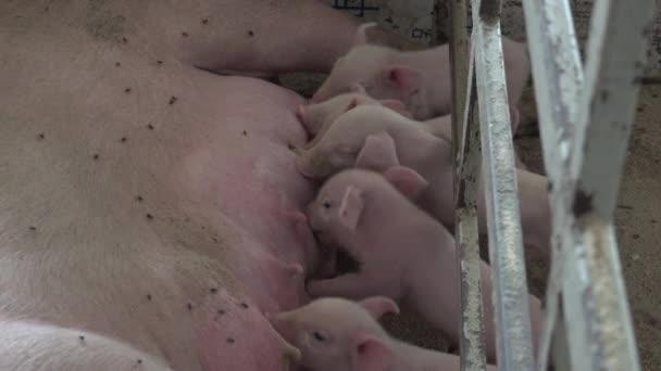 kleine Ferkel saugen Milch von Mamas großem Schwein, auf dem Schweinemastbetrieb für die Fleischproduktion