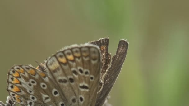 Pseudozizeeria maha, pale grass blue, is a small butterfly  that belongs to the lycaenids or blues family, sitting on wildflowers