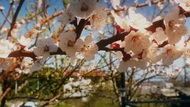 Jarní Kvetoucí strom s květy 4k