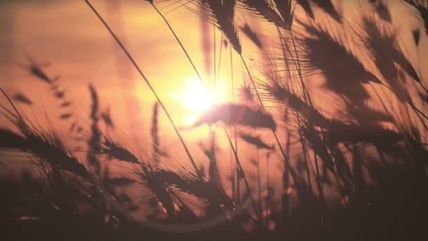 naplemente fű lassú mozgás