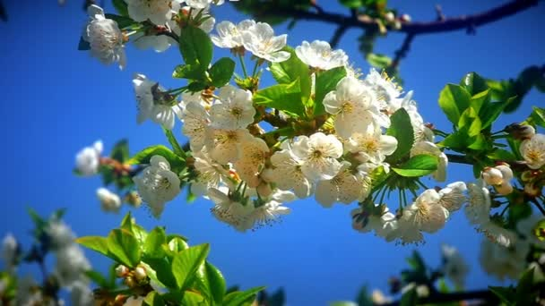 Flowers of Japanese cherry blossoms