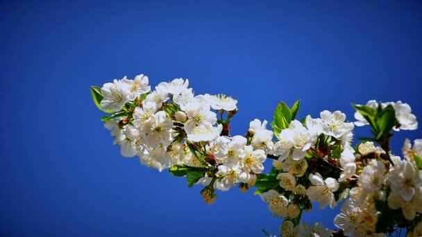 Květy japonských třešňových květů