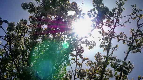 Flowers of Japanese cherry blossoms 4k