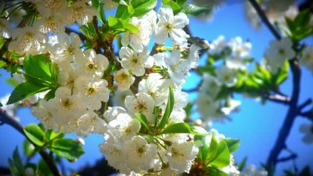 Virágok, japán cseresznye virágok 4k