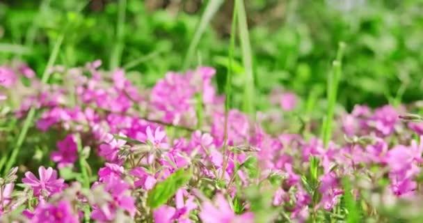 Zpomalený pohyb, zblízka fialové kvetoucí květiny. Krásné květiny na trávníku. Ultra hd 4k modrá květina