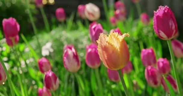 Többszínű tulipán virágzik a virágágyáson. Gyönyörű virágok nőnek az otthoni kertben. Közelkép, piros tulipán, lassított felvétel