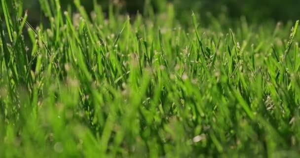 Zelená tráva close-up Zpomalení natáčení, abstraktní pozadí. Trávník při západu slunce. Sluneční paprsky pronikají zelenou trávou