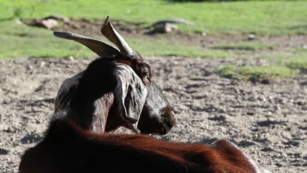 Zeitlupe einer Ziege mit großen Hörnern. Großaufnahme des Kopfes. grüne Naturlandschaft im Hintergrund. nogol, san luis, argentinien.