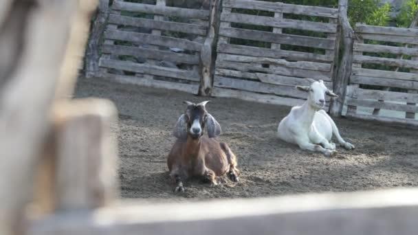 Zeitlupe von zwei Ziegen, die auf dem Hof rasten. Haustiere zur Milchproduktion. nogoli, san luis, argentina