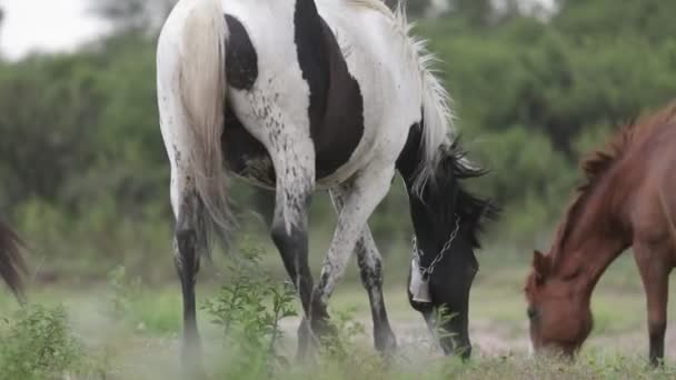 Detail of white and black horse eating grass. Out of focus plants and flowers on foreground moving by the wind. Capilla del Monte, Cordoba, Argentina. Slow motion 120 fps