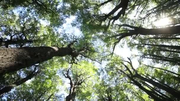 Blick von oben auf die Baumwipfel aus dem Inneren des Nothofagus-Waldes. Rotierende Kamera, die die natürliche Struktur von Ästen und Blättern zeigt. Patagonien, Argentinien. Zeitlupe