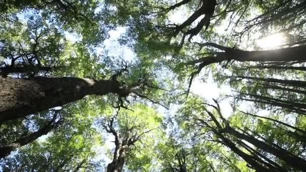 Fentről nézve a fák tetejét az erdőből, a drón részletei repkednek a helyszínen. Forgatókamera, amely az ágak és levelek természetes textúráját mutatja. Patagónia, Argentína. Lassú mozgás.
