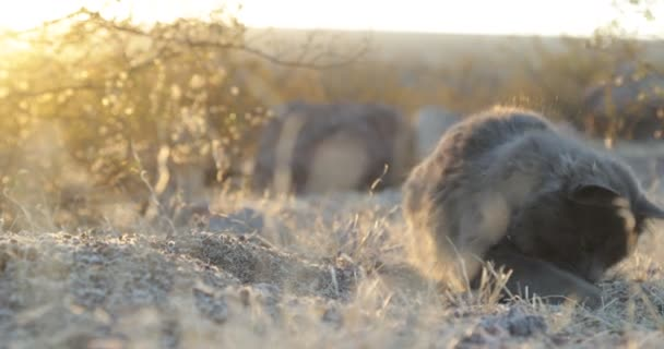 Nette graue Katze beobachtet seine Beute und jagt vor natürlichem Hintergrund bei Sonnenuntergang, goldene Stunde. Gelbes Lautstärkelicht tritt in Erscheinung.