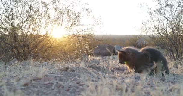Nette graue Katze beobachtet seine Beute und jagt vor natürlichem Hintergrund bei Sonnenuntergang, goldene Stunde. Sonne am Horizont Gelbes Licht am Tatort.