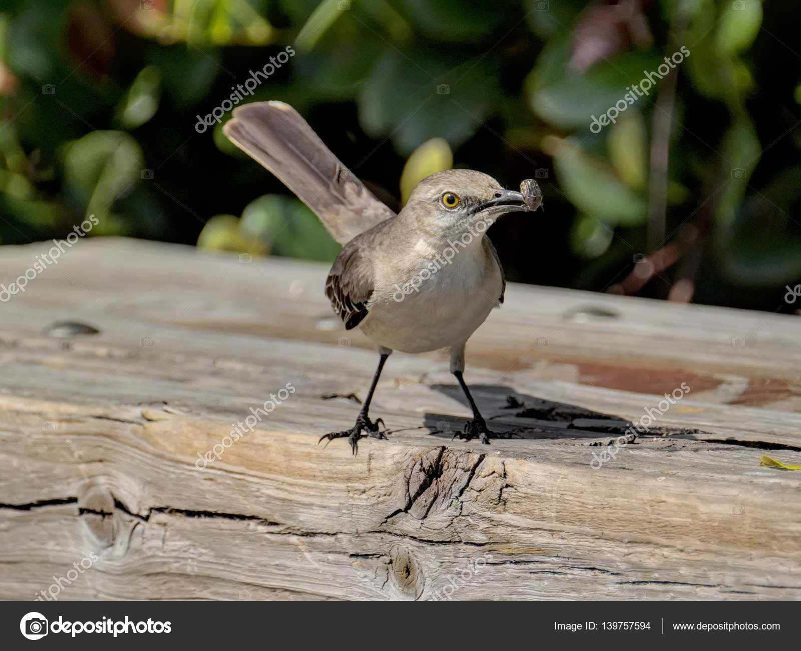 northern mockingbird with insect in beak stock photo 139757594 - Mocking Bird Download