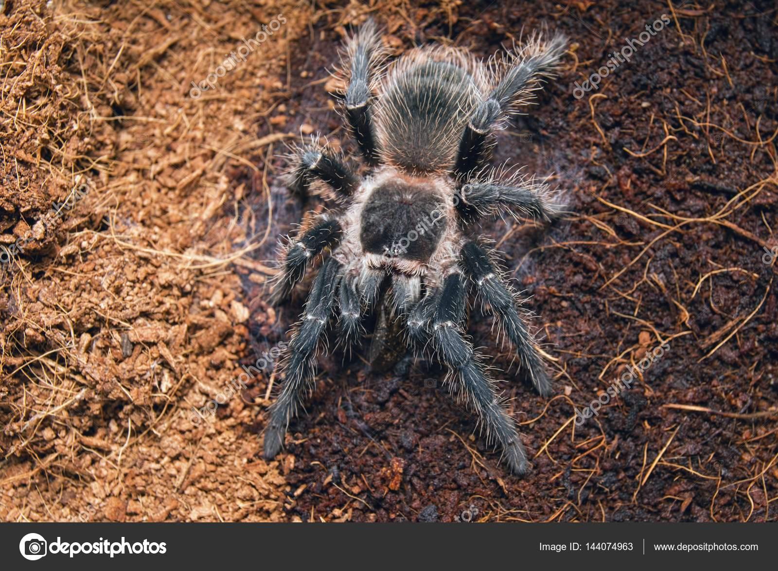 Spider tarantula: description. What is dangerous tarantula bite 31