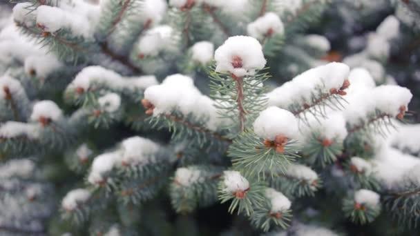 Větev stromu pokryté sněhem. borovice nebo smrku. Zimní