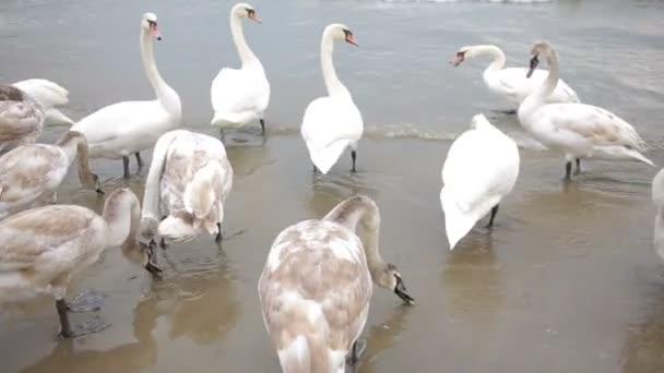 Labutě zimní moře. stěhovaví ptáci