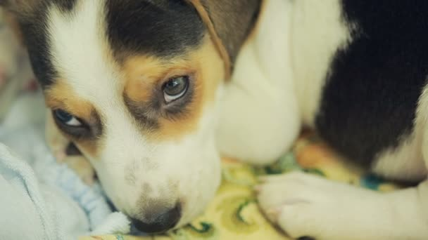Cute Beagle puppy in the litter basket for dogs