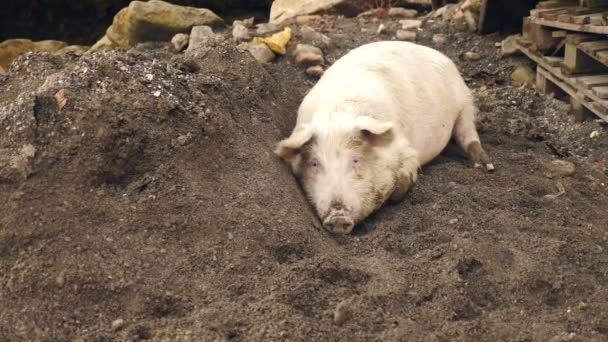 Pink pig lying down in the mud on the ground close up. 4k, slow motion
