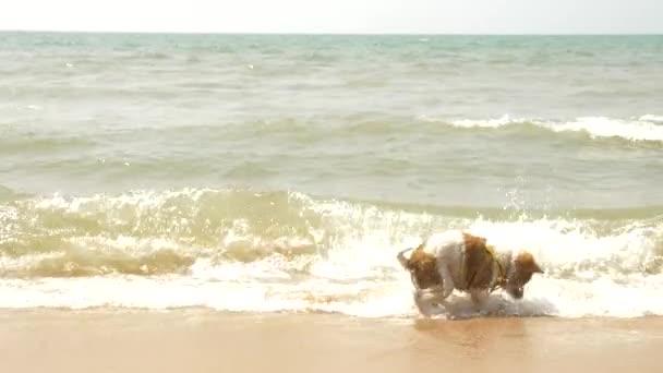Der Welpe auf dem Geschirr spielt Sand und winkt am Strand. 4k, Zeitlupe