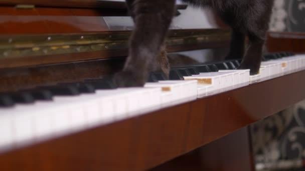 A macska zongorázik. Közelről. egy macska mancsa sétál a zongora billentyűkön