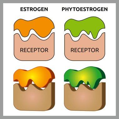 Estrogen and Phytoestrogen Receptors