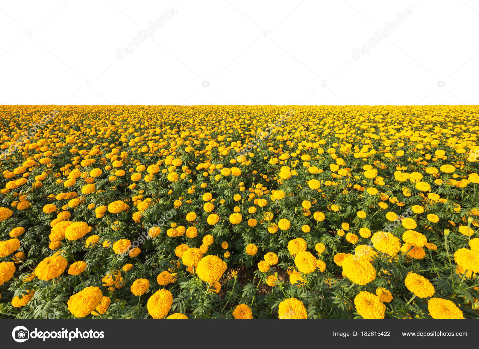 Landscape Of Marigold Flower In Field At Northern Of Thailand Y