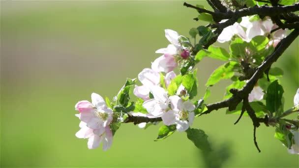 Virágzó alma virágok tavasszal zöld levelek, természetes virágos szezonális háttér