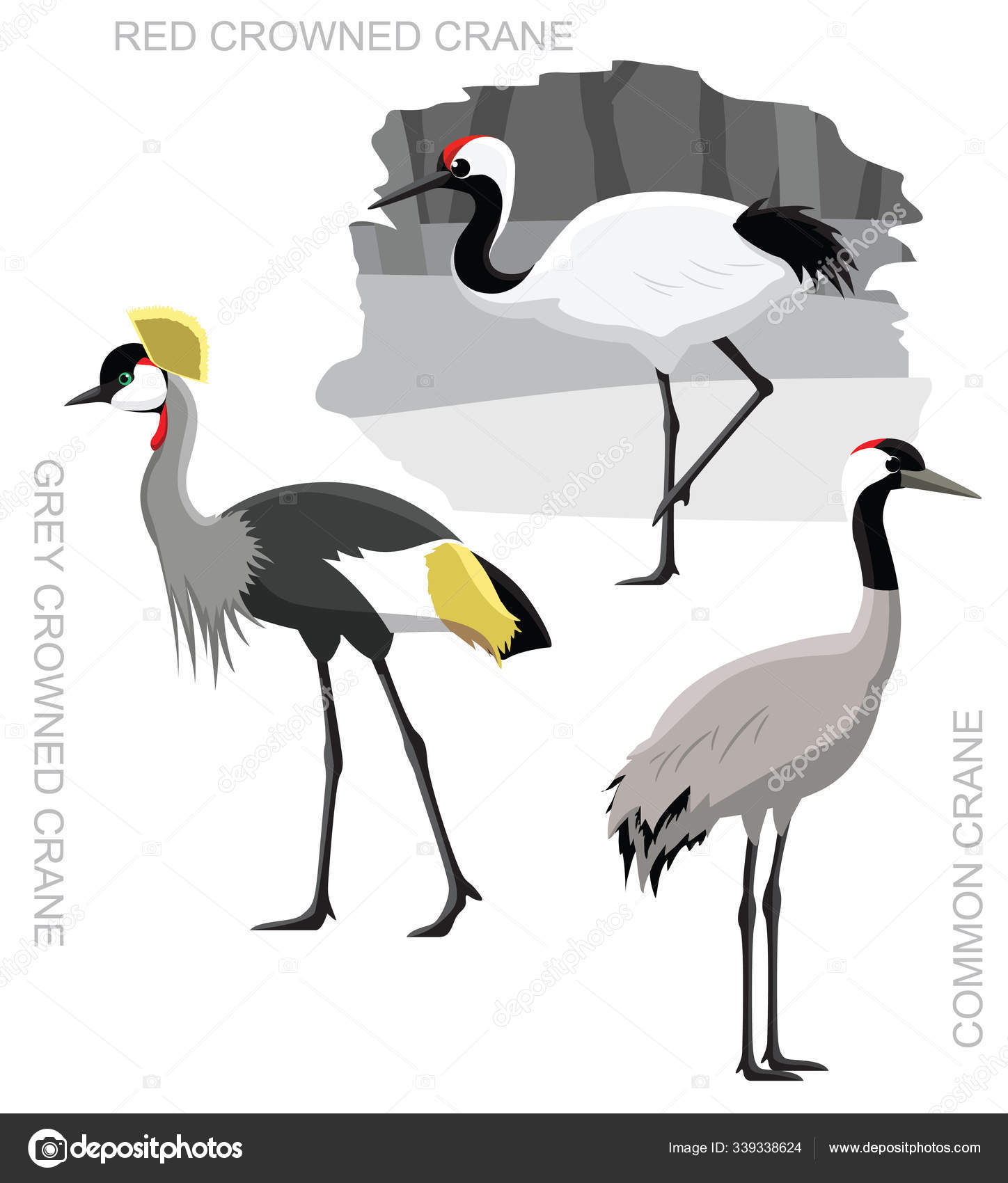 Grey Crowned Crane Stock Vectors Royalty Free Grey Crowned Crane Illustrations Depositphotos It is a highly aquatic species that feeds in deeper water than other cranes. https depositphotos com 339338624 stock illustration bird crane set cartoon vector html