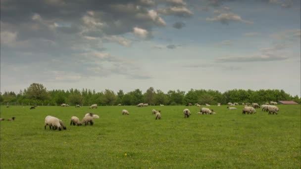 Stádo pasoucích se ovcí na okraji Hannoveru