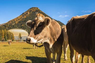Cows graze on the field in Davos in Switzerland on the background of the Swiss Alps.