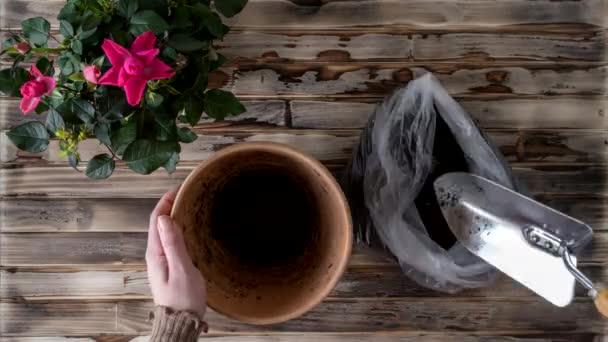 Ženské ruce přesazují květinu růže do nového květináče s železnou lopatou a hlínou na dřevěném prkenném stole. Domácí zahradničení stěhuje pokojovou rostlinu. Plocha.