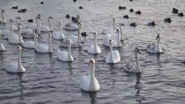 Na řece se vznášelo hejno bílých labutí. S plovoucími labutěmi a hejnem kachen.