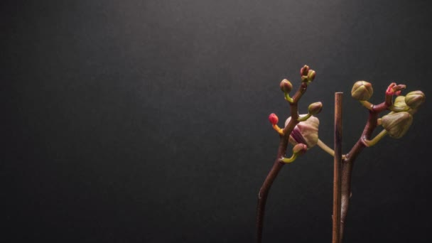 Csodálatos lila virág Orchidea idő elévül egy sötét szürke háttér. Látjuk, ahogy a virágbimbó kinyílik, és látjuk az orchidea lila és rózsaszín színét.