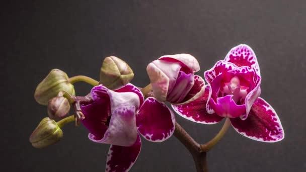 Lila Orchidee isoliert auf schwarz. Der Frühling kommt