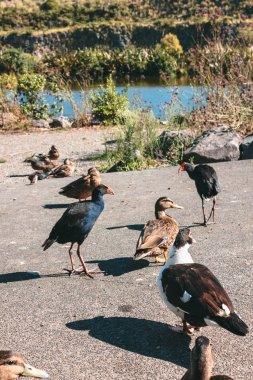 Ducks and New Zealand Pukeko Bird