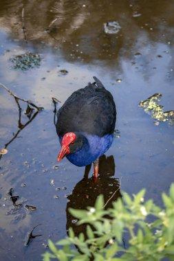 New Zealand pukeko bird feeds on a swamp