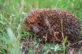 Photo Young hedgehog in natural habitat