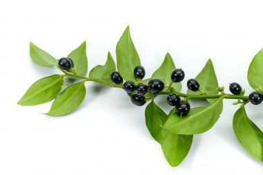 Fragrant sweetbox isolated on white (Sarcococca Rustifolia Chinensis), delightful perfume of sweet vanilla and black glossy berries in winter, christmas.