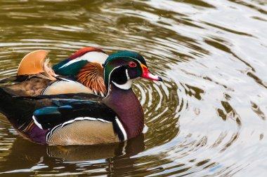 Nice Mandarin ducks on a pond