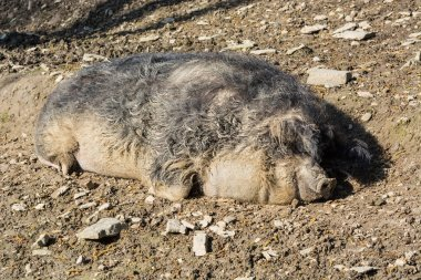 European wild boar in the mud
