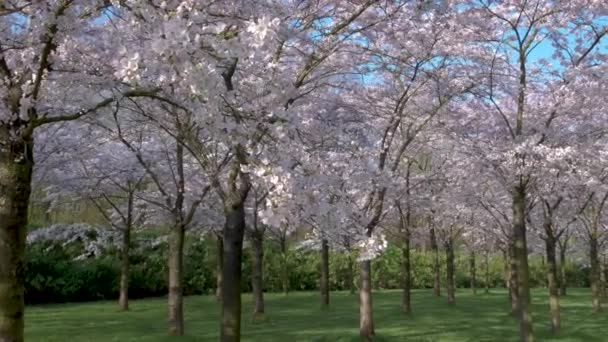 Kersenbloesempark translation flower park There are 400 cherry trees in the Amsterdamse Bos, In the spring you can enjoy the beautiful cherry blossom or Sakura.