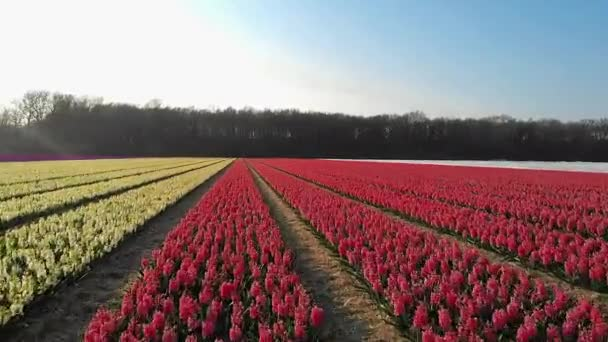Lisse Holandsko na jaře s pestrobarevnými květy, Cibulová oblast Holandsko na jaře s krokusem a hyacintovými květy za slunečného dne