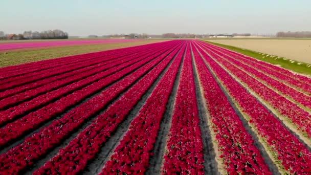 drone letecký pohled červené růžové tulipány při západu slunce, tulipány plněné v Nizozemsku Noordoostpolder, krásné barvy západu slunce s jarními květy