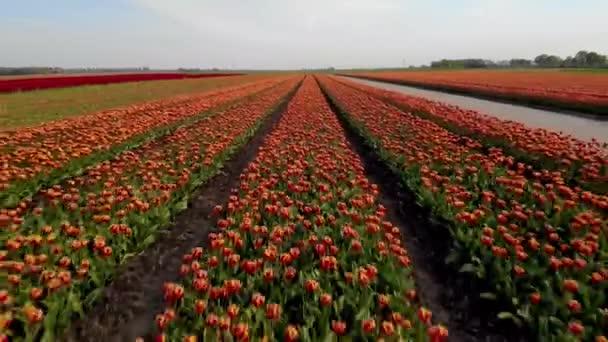 Szélmalom farm színes tulipán mezők a Noordoostpolder alföldeken, Zöld energia szélmalom turbina a tengeren és a szárazföldön