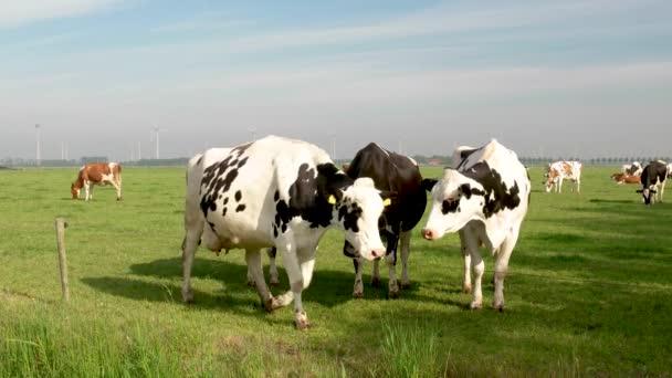 Nizozemská skupina krav venku za slunečného jarního počasí v Nizozemsku Noordoostpolder Flevoland